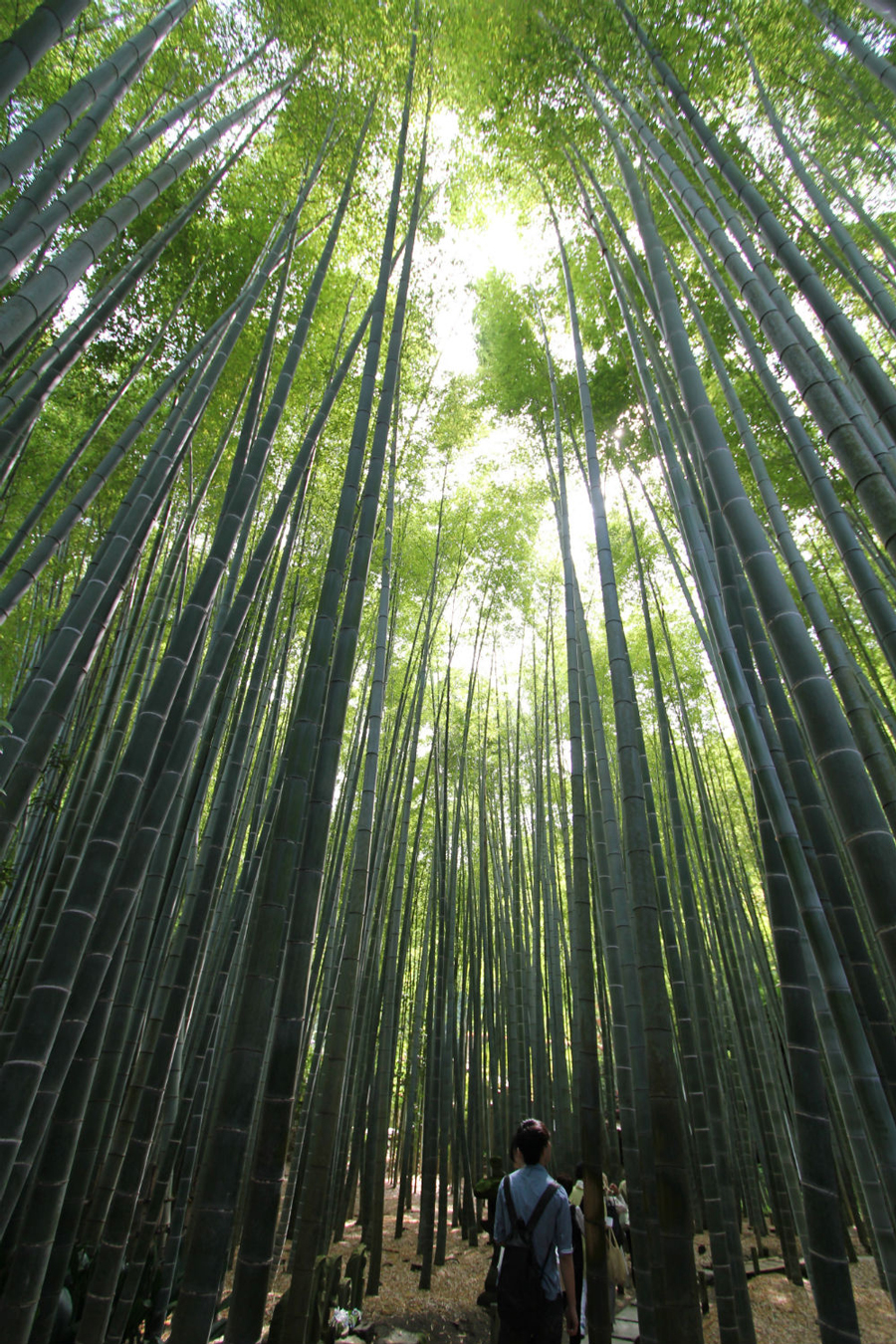 Super Tall Bamboo Line The Pathway Hokokuji Temple