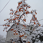 Fruit Tree, Taihaku Ward, Sendai