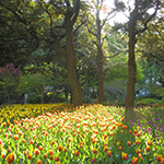 Sunshine and tulips start a great day, Yokohama