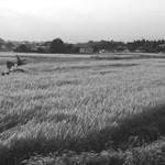 Rice ready for harvest, Tochigi Pref.